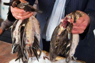 کشتار بزرگ پرندگان در مازندران (ویدیو)