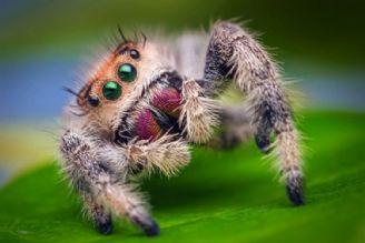 تقلید عنکبوت از مورچه برای شکار او