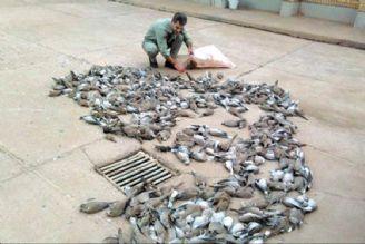 پی گیری صید پرندگان در شمال کشور