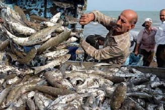 در دریای خزر؛ افزایش 36 درصدی صید ماهی سفید