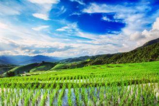منهای نفت - تاثیر بی آبی بر بازار برنج