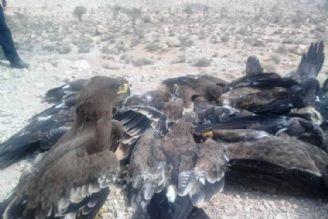 27 عقاب که با لاشه مرغ های آلوده تلف شدند