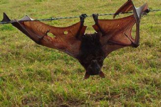 تاثیر  خفاش ها در محیط زیست